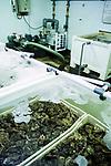 Loch Fyne oysters,  farmed in tanks.    West Coast of Scotland