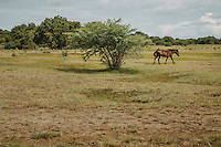 A Sumba horses at an open field in Mbrukulu, Eastern Sumba.