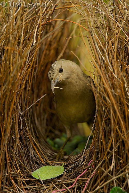 Great Bowerbird (Chlamydera nuchalis) male in his bower..James Cook University Campus, Townsville, Queensland, Australia...JCU Campus Bower #2