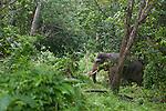 Eléphants de Sumatra