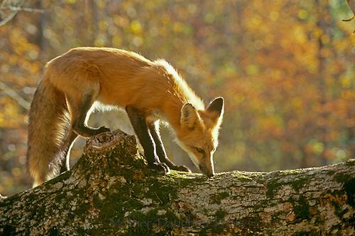 Red fox, Vulpes fulva, standing on log in autumn forest, Peacham Vermont