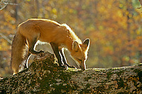 Red fox, Vulpes fulva, standing on log in autumn forest, Peacham Vermont