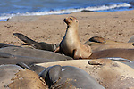 California sea lion on top of molting elephant seals