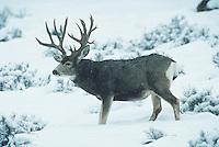 Mule Deer, Black-tailed Deer (Odocoileus hemionus), Trophy buck in snow, Colorado, USA