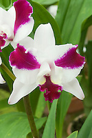 Splash petal Cattleya orchid demonstrating peloric petals where they try to mimick the orchid lip, in two toned white and pink similar to Cattleya intermedia var. aquinii