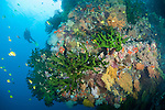 Bligh Waters, Rakiraki, Viti Levu, Fiji; a scuba diver amongst several Golden Damsel fish swimming above large colonies of green Black Sun Coral, intermixed with colorful soft corals and sea fans, along a sheer vertical wall
