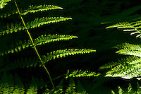 Ferns  in the spring.