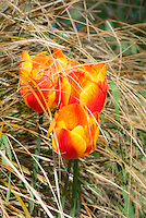 Tulipa 'General de Wet' red and yellow spring flowering bulb tulips with ornamental grass Carex flagellifera