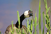 Canada Goose (Branta canadensis) Feeding on Bulrushes a little at a time. They seem to eat only very small portions of Bulrush. Originally introduced to Britain in St James Park, London in the mid 17th century,