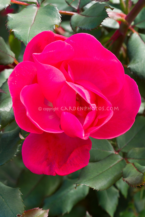 Rosa Knock Out rose red, single bloom