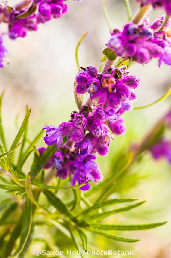 California native perennial wildflower, Woolly Blue Curls, Trichostemma lanatum 'Cuesta Ridge'