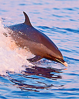 A large adult pantropical spotted dolphin (Stenella attenuata) jumps out of a boat's wake at sunset, Kona, Big Island.