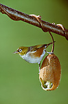 Silvereye bird photos