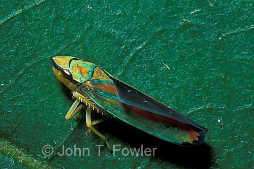 Scarlet and green leafhopper  Graphocephala coccinea homoptera insect
