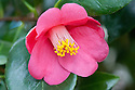 Camellia japonica var. albipetala, glasshouse, early February.