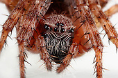 Barn Spider (Araneus cavaticus) facial close up.