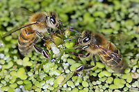 Supported by duckweed, bees fill their crops to bring water back to the hive. A hive needs five to six liters of water per day in midsummer.