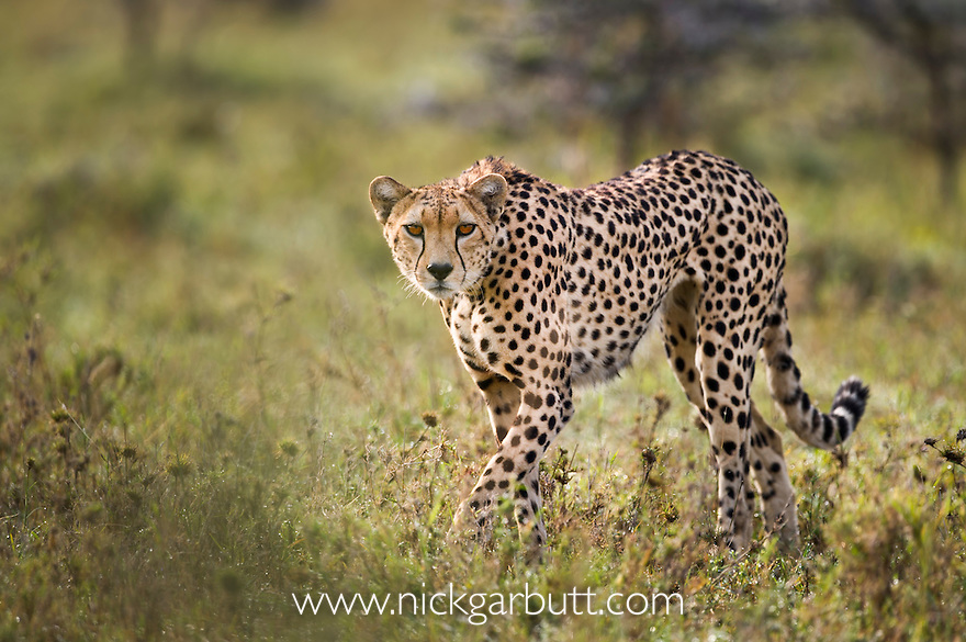 Adult female Cheetah (Acinonyx jubatus) patrolling her territory. Ol Kinyei Conservancy, Maasai Mara, Kenya.