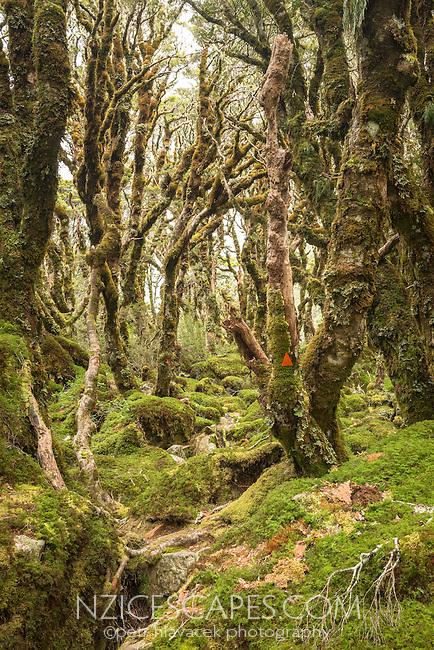Routeburn Track through beech forest near Lake Mackenzie,  Fiordland National Park, Southland, South Island, World Heritage Area, New Zealand
