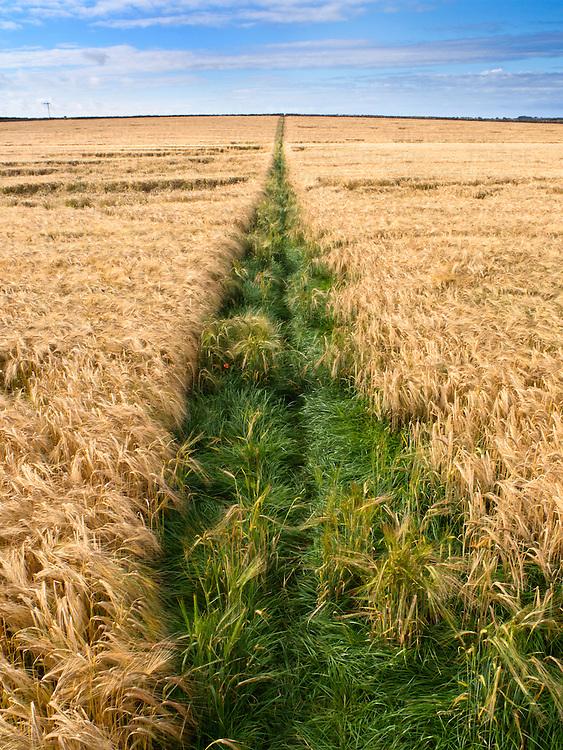 Public Footpath across a Barley Field near Beadnell Northumberland England