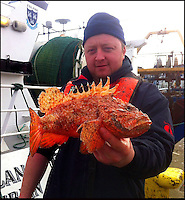BNPS.co.uk (01202 558833).Pic: DeclanMacgabhann/BNPS..Skipper Brendan Lynch carefully holds the deadly Red Scorpion fish (Scorpaena scrofa) caught alive off the south coast of Ireland by the Dublin based trawler Eblana...Scorpion fish are the deadliest species of fish in the world and is normally native to the warm waters of the Mediterranean and not the cold waters of the UK...Skipper of the Eblana Brendan spotted the bright coral-colored fish in his net trawled from a depth of100m off Waterford last month. ..Wary of its deadly spines, Brendan carefully placed it in a separate holding tank. And called Declan MacGabhann of the Sea Fisheries Protection Authority...Declan said 'This is only Scorpaena scrofa fish ever caught in the waters around the British Isles since records began in the 19th century. There have been a handful of reports of its smaller cousin Scorpaena porcus but very rarely. the seas are definately getting warmer and we can expect more of these exotic species to appear'...The unique specimen is now the star exhibit at the Dingle Oceanworld Aquarium.