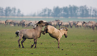 Konik horse, mare kicking out at stallion. Oostvaardersplassen, Netherlands. Mission: Oostervaardersplassen, Netherlands, June 2009.