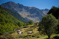 Cows in Vallee d'Ossau near Laruns in Parc National des Pyrenees Occident, France