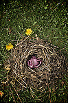 small bird nest made from grass and twigs with two dandelions on a lawn