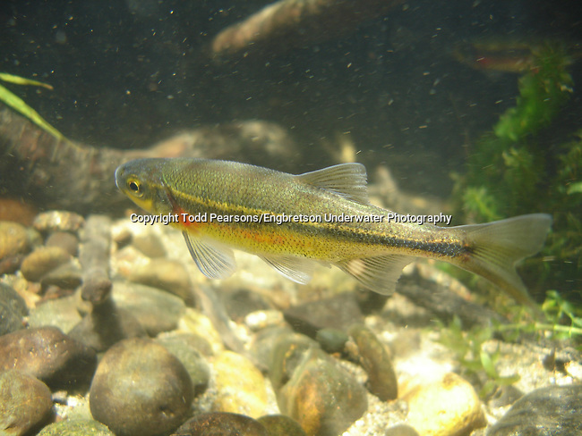 Redside Shiner | Engbretson Underwater Photography