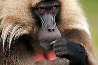 Gelada mature male head (Theropithecus gelada), Simien Mountains National Park, Ethiopia.