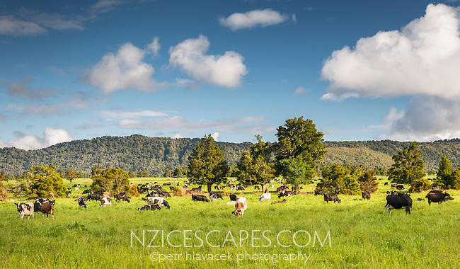 Lush green pastures with cows on farm at Whataroa, West Coast, South Westland, New Zealand
