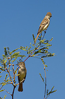 530060008 a pair of wild ash-throated flycatchers myiarchus cinerascens perches in a mesquite tree in the madera grasslands green valley arizona