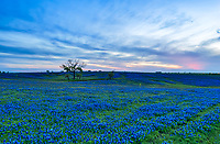 Framed Texas Bluebonnet on a Ranch.