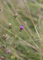 A Small Heath butterfly (Coenonympha pamphilus) sits atop a centaurea nigra flower