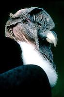 BIRDS OF PREY<br /> Andean Condor<br /> (Vultur gryphus)