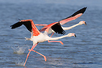Greater Flamingos (Phoenicopterus ruber) taking off in flight, Camargue, France