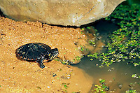 1R13-102z  Painted Turtle - young going to duckweed pond after emerging from nest  - Chrysemys picta