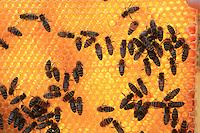 """Un cadre de miel de tilleul avec des abeilles. «Nous n'avons pas de problème de pesticide à Berlin mais je sais qu'au printemps sur le colza beaucoup d'apiculteurs perdent leurs ruches. Sur le Colza, il y a 10 à 12 passages d'insecticides et des fois, les paysans ne respectent pas les réglementations» déclare Uwe Marth.///A frame of linden honey with the bees. """"We don't have the problem of pesticides in Berlin but I know that, in spring, lots of beekeepers lose their hives. With the colza, they spread insecticides 10 to 12 times and sometimes the farmers do not respect the regulation,"""" says Uwe Math."""