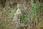 The serval uses its enormous ears to detect prey in the tall grass, Samburu National Reserve, Kenya
