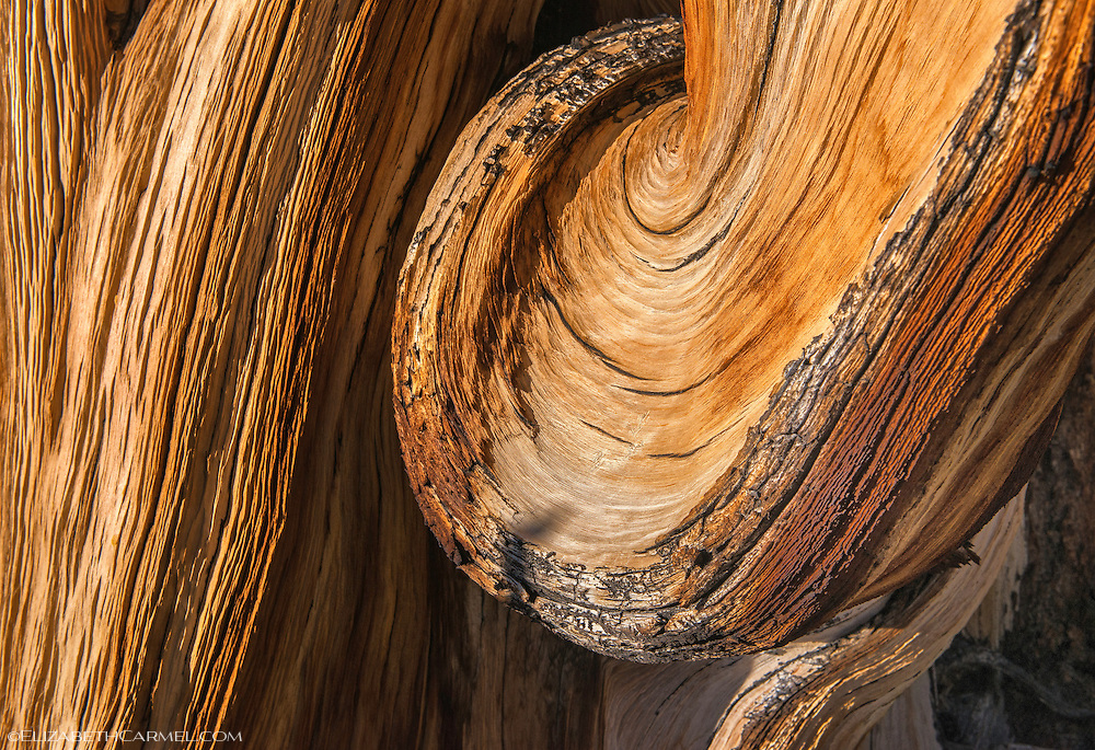 Swirl of Time, Bristlecone Pine