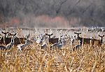 Black-tailed or mule deer in field with Sandhill Cranes, Bosque del Apache National Wildlife Refuge, New Mexico, USA