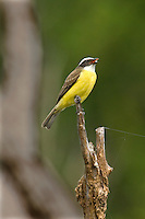 530170006 a wild adult social flycatcher myiozetetes similis perches on a dead tree snag with a bug in its beak on a ranch in tamaulipas state mexico