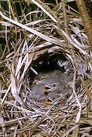 Fitis, Fitislaubsänger, Fitis-Laubsänger, Küken im Nest, Bodennest, Phylloscopus trochilus, willow warbler