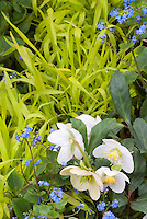 Blue &amp; gold spring garden scene with white hellebore flowers, blue Brunnera, yellow hakon grass
