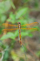 389120004 a wild female golden-winged skimmer dragonfly libellula aurepennis perched on a small twig san jacinto national forest san jacinto county texas