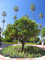 Orange Tree, California, USA