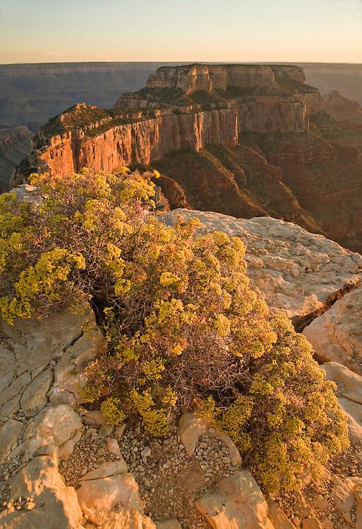 Golden Rabbit Brush (Chrysothamnus nauseosus) frames Wotan's Throne as the sun sets at Cape Royal, Grand Canyon National Park, Arizona