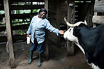 AKUM, CAMEROON - AUGUST 6: Mary Sirri Ndikum, age 54, a dairy farmer, interacts with a cow on her farm on August 6, 2009 in Akum, Cameroon. Many small farmers in the area are struggling to cope with low milk prices, expensive inputs and competing with low priced milk powder, that is heavily subsidized by European governments and dumped on international markets such as in Africa. Mary owns several dairy cows, delivers fresh milk everyday and makes her own yogurt. (Photo by Per-Anders Pettersson)......