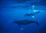 Humpback Whale, Tonga, South Pacific