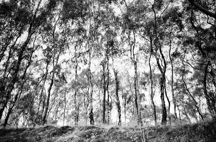 Silver Birches at Bolehill Quarry, Derbyshire